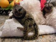 SUHD  Pairs Capuchin pygmy marmoset available 07031956739